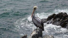 Πουλιά πελεκάνων σε μια δύσκολη παραλία στοκ εικόνες