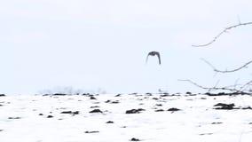 Πουλιά - πετώντας μαύρο κοινό κοράκι απόθεμα βίντεο