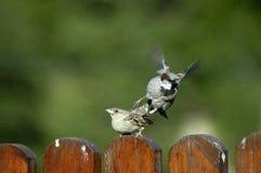 πουλιά που έρχονται σε σεξουαλική επαφή Στοκ Εικόνα