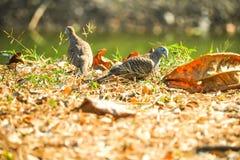 Πουλιά που περπατούν στα ξηρά φύλλα φύσης ANS στο έδαφος στο ζωικό υπόβαθρο ιδέας έννοιας ζωής κατοικίδιων ζώων φθινοπώρου στοκ εικόνες