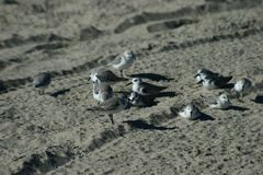 Πουλιά που στηρίζονται στην άμμο Στοκ Φωτογραφίες