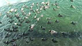 Πουλιά που ταΐζουν με μια παγωμένη λίμνη το χειμώνα φιλμ μικρού μήκους