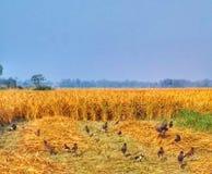 Πουλιά που ψάχνουν την τροφή paddy& x27 σιτάρι του s στοκ φωτογραφία