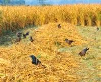 Πουλιά που ψάχνουν την τροφή paddy& x27 σιτάρι του s στοκ φωτογραφία με δικαίωμα ελεύθερης χρήσης