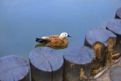 Πουλιά στην άγρια φύση Η πάπια Buetefull κολυμπά στη λίμνη ή τον ποταμό με το BL Στοκ εικόνα με δικαίωμα ελεύθερης χρήσης