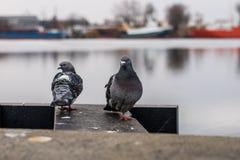 Πουλιά στην αποβάθρα λιμένων Μια συνεδρίαση περιστεριών στην ακτή στο PA Στοκ εικόνα με δικαίωμα ελεύθερης χρήσης