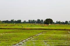 Πουλιά στους τομείς ρυζιού σε Petchaburi, Ταϊλάνδη στοκ εικόνες