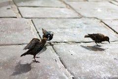 Πουλιά στο Λονδίνο Στοκ Εικόνες