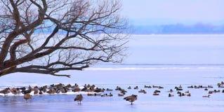Πουλιά στο πανόραμα πάγου στοκ εικόνες