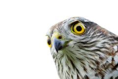 Πουλιά της Ευρώπης - σπουργίτι-γεράκι Στοκ Εικόνα