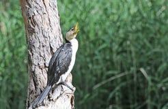 Πουλιά της Νότιας Αυστραλίας, γραμμικός παράδεισος πάρκων Στοκ Φωτογραφία