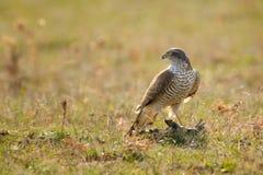 Πουλιά του θηράματος - nisus Sparrowhawk Accipiter με το θήραμα Στοκ Φωτογραφία
