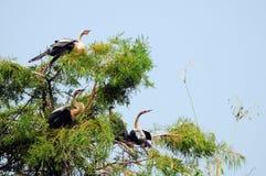 πουλιά anhinga τέσσερις νεολ&alph Στοκ φωτογραφία με δικαίωμα ελεύθερης χρήσης