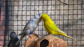 Πουλιά Budgie αγάπης στοκ εικόνα