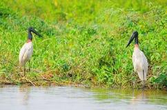 Πουλιά Tuiuiu πέρα από μερικές εγκαταστάσεις στα περιθώρια ενός ποταμού Στοκ Εικόνα