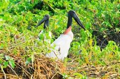 Πουλιά Tuiuiu πέρα από μερικές εγκαταστάσεις στα περιθώρια ενός ποταμού Στοκ Εικόνες
