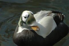 πουπουλόπαπια με γυαλ&io Στοκ φωτογραφία με δικαίωμα ελεύθερης χρήσης