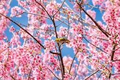 Πουλί άσπρος-ματιών στο άνθος και το sakura κερασιών Στοκ Φωτογραφία