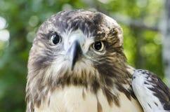 Πουλί αρπακτικών πτηνών του θηράματος, νεανικό κόκκινο παρακολουθημένο σχεδιάγραμμα γερακιών Στοκ φωτογραφία με δικαίωμα ελεύθερης χρήσης