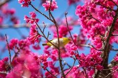 Πουλί, ασιατικό άσπρος-μάτι Στοκ φωτογραφίες με δικαίωμα ελεύθερης χρήσης