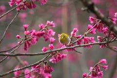 Πουλί, ασιατικό άσπρος-μάτι Στοκ Εικόνες
