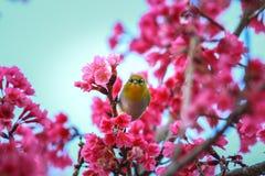 Πουλί, ασιατικό άσπρος-μάτι Στοκ εικόνες με δικαίωμα ελεύθερης χρήσης