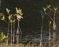 Πουλί αλιείας σε μια λίμνη Στοκ Εικόνες