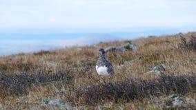 Πουλί βουνοχιονοκοτών Στοκ Εικόνα