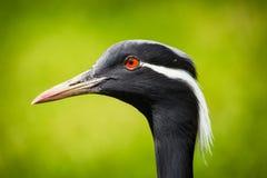Πουλί γερανών στοκ εικόνες με δικαίωμα ελεύθερης χρήσης