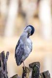 Πουλί γερανών Στοκ Εικόνα