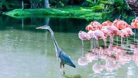 Πουλί γερανών Demoiselle στη λίμνη στοκ εικόνα