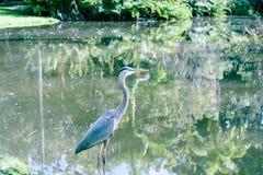 Πουλί γερανών Demoiselle στη λίμνη στοκ φωτογραφίες