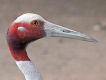 Πουλί γερανών Sarus Στοκ Φωτογραφίες