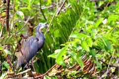 Πουλί, ερωδιός Tricolored, ερωδιός της Λουιζιάνας Στοκ φωτογραφία με δικαίωμα ελεύθερης χρήσης