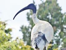 Πουλί θρεσκιορνιθών Στοκ φωτογραφία με δικαίωμα ελεύθερης χρήσης
