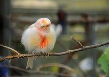 Πουλί καναρινιών Στοκ φωτογραφίες με δικαίωμα ελεύθερης χρήσης