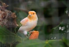 Πουλί καναρινιών Στοκ εικόνα με δικαίωμα ελεύθερης χρήσης