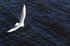Πουλί κατά την πτήση Στοκ Εικόνες