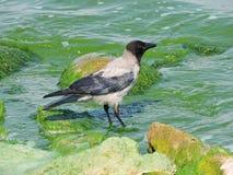 Πουλί κοράκων κοντά στη λίμνη Στοκ Φωτογραφίες