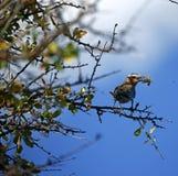 Πουλί κυλίνδρων με μια ακρίδα Στοκ Εικόνα