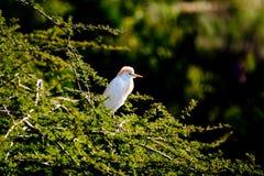 Πουλί κόκκινος-CREST Στοκ Φωτογραφία