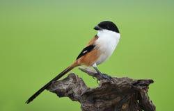 Πουλί με μακριά ουρά Shrike, Ταϊλάνδη Στοκ εικόνες με δικαίωμα ελεύθερης χρήσης