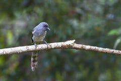 Πουλί: Με μακριά ουρά Sibia Στοκ Φωτογραφίες