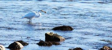 Πουλί με τα ψάρια στο στόμα Στοκ εικόνα με δικαίωμα ελεύθερης χρήσης