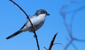 πουλί μικρό Στοκ Φωτογραφία