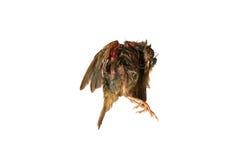 πουλί νεκρό Στοκ εικόνα με δικαίωμα ελεύθερης χρήσης