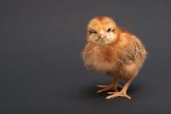 Πουλί - νεοσσός Στοκ φωτογραφία με δικαίωμα ελεύθερης χρήσης