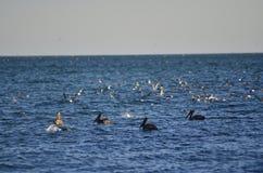 Πουλί νερού πελεκάνων Στοκ φωτογραφία με δικαίωμα ελεύθερης χρήσης