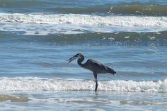 Πουλί νερού στη σίτιση ακτών Κόλπων του Τέξας Στοκ φωτογραφία με δικαίωμα ελεύθερης χρήσης