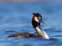 Πουλί νερού στο cristatus λιμνών podiceps Στοκ Εικόνες